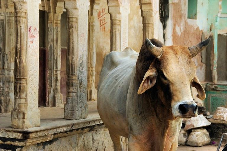 Indische kuh.jpg